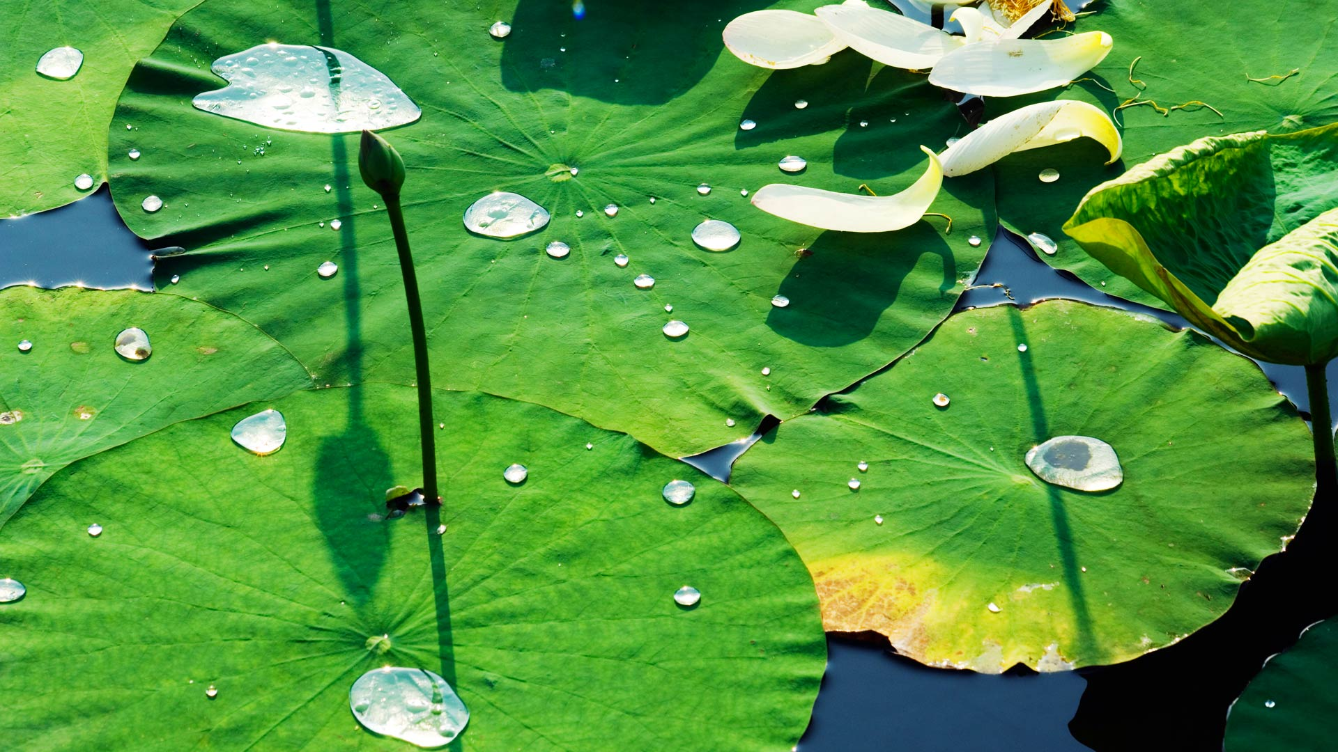 WaterliliesYuanmingyuan_ZH-CN10533925188_1920x1080